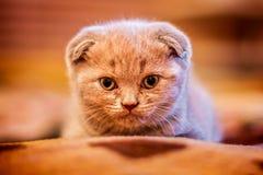 Het kleine Britse vouwenkatje kijkt dicht bij camera Stock Afbeeldingen