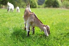 Het kleine bruine de geitjong geitje van de anglo nubian baby weiden op zon aangestoken weide stock foto's