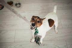 Het kleine de terriër van hondjack russel witte en bruine spelen met kleur Royalty-vrije Stock Afbeelding