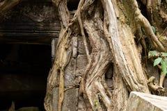 Het kleine die hoofd van Boedha door boomwortels bij de Tempel van Ta wordt omringd Prohm stock foto's