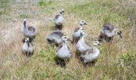 Het kleine Gele Gansjes recenty uitgebroede lopen in het gras in de Lente stock afbeeldingen