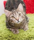Het kleine gestreepte katkatje met gele ogen ziet vooruit eruit Stock Fotografie