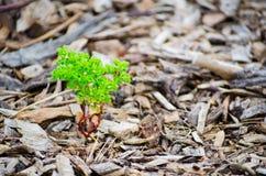 Het kleine groene boom groeien op Stukken van bruin hout, de mulsoppervlakte van de boomschors royalty-vrije stock afbeelding