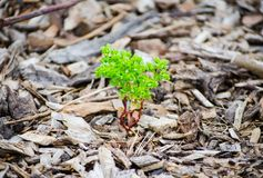 Het kleine groene boom groeien op Stukken van bruin hout, de mulsoppervlakte van de boomschors royalty-vrije stock foto's