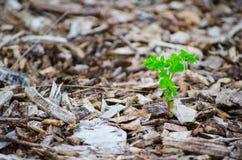 Het kleine groene boom groeien op Stukken van bruin hout, de mulsoppervlakte van de boomschors stock foto