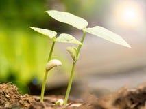 Het kleine groene installatie twee groeien van vruchtbare grond met germinatiezaad De groei en milieuconcept royalty-vrije stock foto's