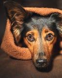 Het kleine hond verbergen onder deken stock afbeeldingen