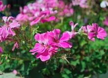 Het kleine houseplant bloeien met roze bloemen, close-up royalty-vrije stock foto's