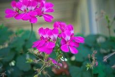 Het kleine houseplant bloeien met roze bloemen, close-up royalty-vrije stock afbeeldingen