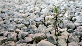 Het kleine installatie groeien in de stenen stock afbeelding