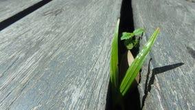 Het kleine installatie groeien in het kleine donkere hout van de gaten houten vloer Stock Foto's