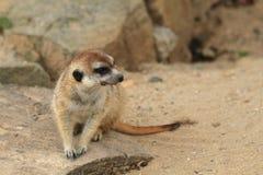 Het kleine meercat rusten Royalty-vrije Stock Afbeelding