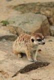 Het kleine meercat rusten Stock Foto's