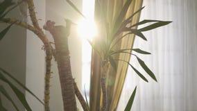 Het kleine palm groeien binnen het huis Zon die van achter het gordijn glanzen Camera die zich links bewegen stock footage
