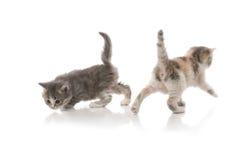 Het kleine pluizige katjes spelen Royalty-vrije Stock Afbeelding