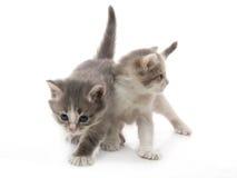 Het kleine pluizige katjes spelen Stock Fotografie