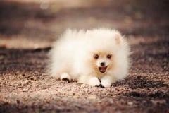 Het kleine Pomeranian-puppy liggen Stock Foto's