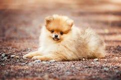 Het kleine Pomeranian-puppy liggen Stock Afbeeldingen