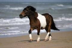 Het kleine poney draven Royalty-vrije Stock Afbeeldingen