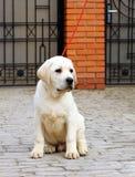 Het kleine puppy van Labrador in het park Royalty-vrije Stock Foto's