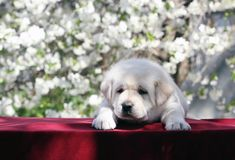 Het kleine puppy van Labrador in het park in de lente Stock Fotografie