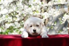 Het kleine puppy van Labrador in het park in de lente Stock Afbeeldingen