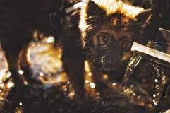Het kleine puppyhond drinken Stock Fotografie
