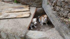 Het kleine puppyhorloge Royalty-vrije Stock Afbeeldingen
