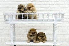 Het kleine puppyspitz spelen in Studio op witte achtergrond Stock Foto's