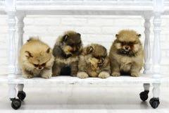 Het kleine puppyspitz spelen in Studio op witte achtergrond Royalty-vrije Stock Foto's