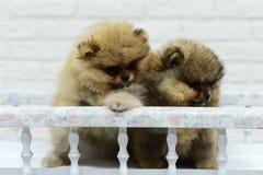 Het kleine puppyspitz spelen in Studio op witte achtergrond Royalty-vrije Stock Afbeelding