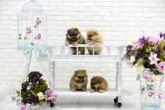 Het kleine puppyspitz spelen in Studio op witte achtergrond Royalty-vrije Stock Afbeeldingen