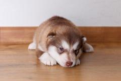 Het kleine rode puppy van ras Malamute die Van Alaska op de vloer en de blikken aan de camera liggen stock afbeelding