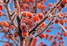 Het kleine rood frosen appelen Stock Foto