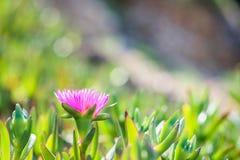Het kleine roze edulis groeien van bloemcarpobrotus op een overzeese kust in Rodos, Griekenland stock afbeeldingen