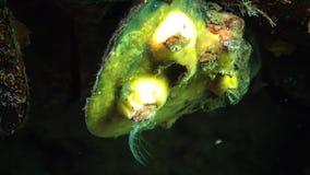 Het kleine schaaldierbalanus-voer op plankton Plattelandshuisje van schaaldier op een mossel met een overzeese spons van gele kle stock videobeelden