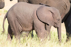 Het kleine spel van het olifantskalf in lang groen gras en het hebben van partij van F Royalty-vrije Stock Afbeeldingen