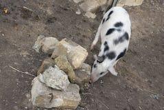 Het kleine varken eet status dichtbij rotsen Stock Foto's