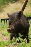 Het kleine varken van Vietnam Stock Afbeeldingen