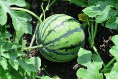 Het kleine watermeloen groeien in de tuin Royalty-vrije Stock Afbeeldingen