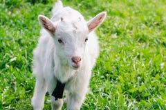 Het kleine witte gehoornde goatling loopt over een groen de zomergebied royalty-vrije stock afbeelding
