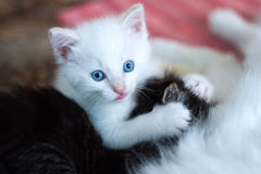 Het kleine witte katje spelen Stock Foto