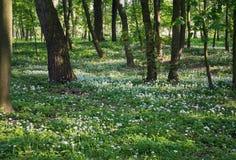 Het kleine witte van de de bloeipaardebloem van bloemblaadjebloemen donkere bos Royalty-vrije Stock Afbeelding