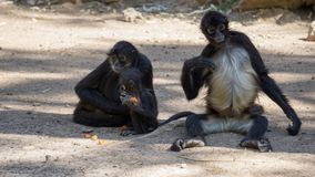 het kleine zwarte apen eten stock fotografie