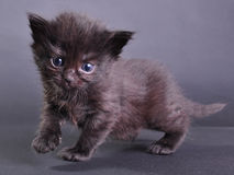 Het kleine zwarte katje lopen springend en lopend Stock Afbeelding