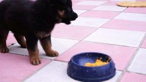 Het kleine zwarte Kaukasische herderspuppy spelen in de werf stock video