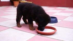 Het kleine zwarte Kaukasische herderspuppy spelen in de werf stock footage