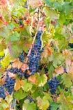 Het kleuren van de wijngaard Royalty-vrije Stock Afbeelding