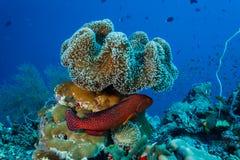 Het kleurrijke bevlekte miniata van Cephalopholis van de koraalkabeljauw fishhiding onder zacht koraal royalty-vrije stock afbeelding