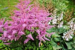 Het kleurrijke bloeien astilbe in de zomertuin stock foto